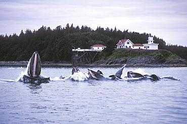 "Adult Humpback Whales (Megaptera novaeangliae) ""bubble-net"" feeding near the Point Retreat Lighthouse on Admiralty Island, Southeast Alaska, USA. Pacific Ocean."