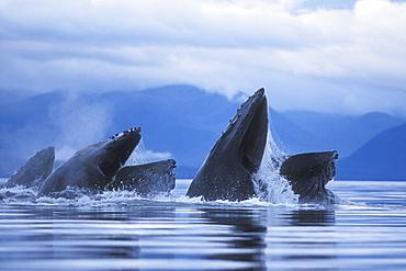 "Adult Humpback Whales (Megaptera novaeangliae) cooperatively ""bubble-net"" feeding in Southeast Alaska, USA. Pacific Ocean."