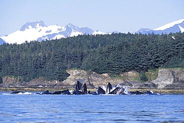 "Humpback Whales (Megaptera novaeangliae) cooperatively ""bubble-net"" feeding in Lynn Canal, Southeast Alaska, USA."