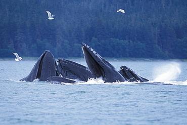 "Adult Humpback Whales (Megaptera novaeangliae) ""bubble-net"" feeding in Chatham Strait, Southeast Alaska, USA. Pacific Ocean."