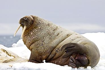 Adult male walrus (Odobenus rosmarus rosmarus) on multi-year ice floes off Bolshoy Island, Barents Sea, Norway