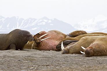 Adult male walrus (Odobenus rosmarus rosmarus) hauled out on the beach at Poolepynten in Prins Karls Forland, Barents Sea, Norway