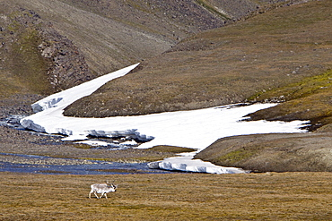 Svalbard reindeer (Rangifer tarandus platyrhynchus) on the tundra in Habenichtbutka, Edge Island in the Svalbard Archipelago, Norway