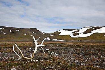Svalbard reindeer antlers (Rangifer tarandus platyrhynchus) on the gentle plains of Talaveraflya on the south shore of Borentsoya, Svalbard Archipelago, Norway