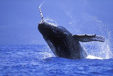 Humpback Whale calf (Megaptera novaeangliae) breaching/head-lunging in the AuAu Channel near Maui, Hawaii, USA. Pacific Ocean.