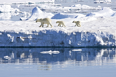 Mother polar bear (Ursus maritimus) with two coy (cubs-of-year) on multi-year ice floes in the Barents Sea off the eastern side of Heleysundet in the Svalbard Archipelago, Norway