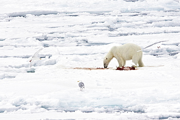A young polar bear (Ursus maritimus) feeds on a seal carcass on fast ice in the Barents Sea off the eastern coast of Kükenthaløya Island in the Svalbard Archipelago, Norway