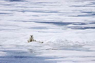A mother polar bear (Ursus maritimus) with a single cub on ice floes in the Barents Sea, Svalbard Archipelago, Norway