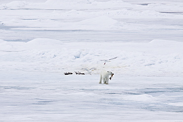 A young polar bear (Ursus maritimus), scavenging a polar bear carcass on multi-year ice floes in the Barents Sea, Edge Island, Svalbard Archipelago, Norway