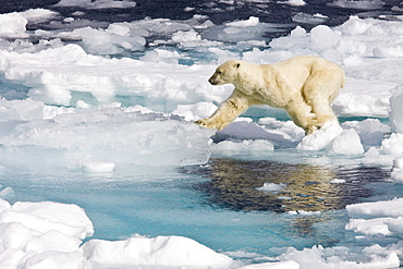 A curious adult polar bear (Ursus maritimus) approaches the National Geographic Explorer in the Barents Sea, Edge Island, Svalbard Archipelago, Norway