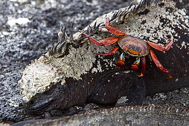 The endemic Galapagos marine iguana (Amblyrhynchus cristatus) with Sally lightfoot crab in the Galapagos Island Archipeligo, Ecuador