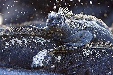 "The endemic Galapagos marine iguana (Amblyrhynchus cristatus) ""sneezing"" salt water in the Galapagos Island Archipeligo, Ecuador"