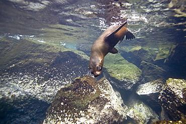 Galapagos fur seal (Arctocephalus galapagoensis) playing in the surf on Isabela Island in the Galapagos Island Archipelago, Ecuador