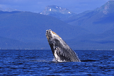 Humpback Whale calf (Megaptera novaeangliae) breaching/head-lunging in Chatham Strait, Southeast Alaska, USA. Pacific Ocean.