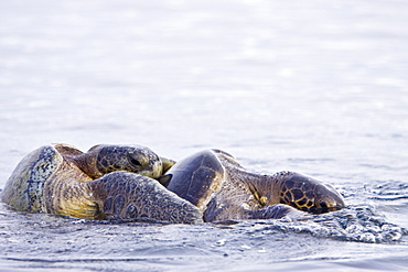 Adult green sea turtles (Chelonia mydas agassizii) mating (male on top of female) in the waters surrounding the Galapagos Island Archipeligo, Ecuador. Pacific Ocean. - 979-5576