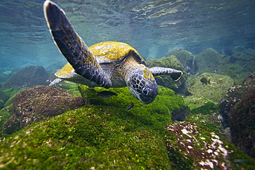Adult green sea turtle (Chelonia mydas agassizii) underwater off the west side of Isabela Island in the waters surrounding the Galapagos Island Archipeligo, Ecuador. Pacific Ocean. - 979-5588