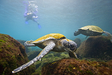Adult green sea turtle (Chelonia mydas agassizii) underwater off the west side of Isabela Island in the waters surrounding the Galapagos Island Archipeligo, Ecuador. Pacific Ocean. - 979-5591