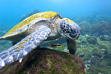 Adult green sea turtle (Chelonia mydas agassizii) underwater off the west side of Isabela Island in the waters surrounding the Galapagos Island Archipeligo, Ecuador. Pacific Ocean. - 979-5594