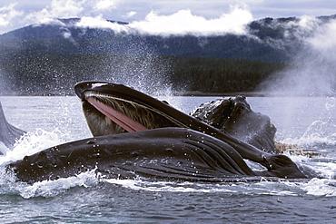 "Adult Humpback Whales (Megaptera novaeangliae) cooperatively ""bubble-net"" feeding in Chatham Strait, Southeast Alaska, USA."