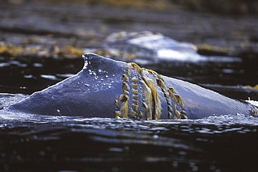 Humpback Whale (Megaptera novaeangliae) mother rubbing in kelp off Admiralty Island, Chatham Strait, Southeast Alaska, USA. Pacific Ocean.