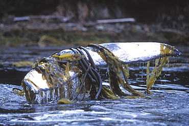 Humpback Whale (Megaptera novaeangliae) calf playing and rubbing with kelp wrapped around its flukes off Admiralty Island, Chatham Strait, Southeast Alaska, USA