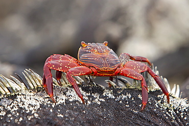 Sally lightfoot crab (Grapsus grapsus) on a marine iguana in the Galapagos Island Archipelago, Ecuador. Pacific Ocean
