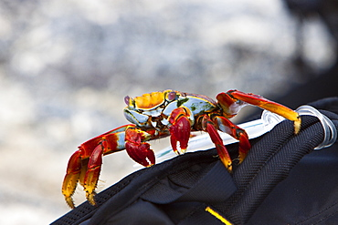 Sally lightfoot crab (Grapsus grapsus) inspecting a backpack in the Galapagos Island Archipelago, Ecuador. Pacific Ocean
