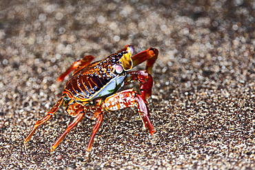 Sally lightfoot crab (Grapsus grapsus) in the litoral of the Galapagos Island Archipelago, Ecuador. Pacific Ocean