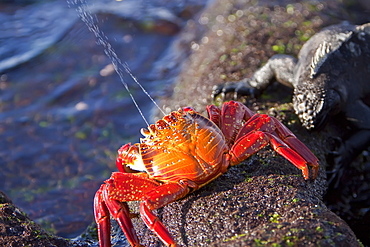 Sally lightfoot crab (Grapsus grapsus) spraying sea water from its mouth in the litoral of the Galapagos Island Archipelago, Ecuador. Pacific Ocean