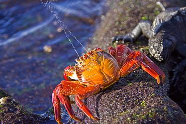 Sally lightfoot crab (Grapsus grapsus) spraying water towards marine iguana in the litoral of the Galapagos Island Archipelago, Ecuador