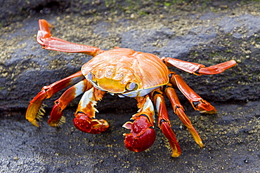 Sally lightfoot crab (Grapsus grapsus) in the litoral of the Galapagos Island Archipelago, Ecuador