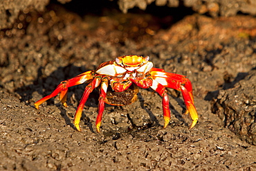 Gravid Sally lightfoot crab (Grapsus grapsus) with eggs in the litoral of the Galapagos Island Archipelago, Ecuador. Pacific Ocean