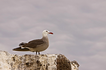 Adult Heermann's gull (Larus heermanni) on their breeding grounds on Isla Rasa in the middle Gulf of California (Sea of Cortez), Mexico