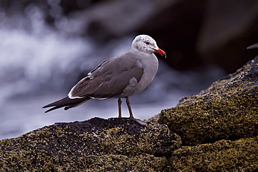 Juvenile Heermann's gull (Larus heermanni) on their breeding grounds on Isla Rasa in the middle Gulf of California (Sea of Cortez), Mexico