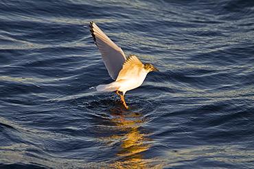 Adult Bonaparte's Gull (Larus philadelphia) feeding on the oceans surface at sunrise off Isla San Esteban in the middle Gulf of California (Sea of Cortez), Mexico.