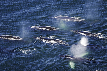 """Aerial view of adult humpback whales (Megaptera novaeangliae) preparing to dive in order to cooperatively """"bubble-net"""" feed in Southeast Alaska, USA"""