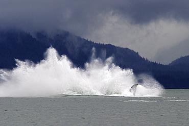 Adult Humpback Whale (Megaptera novaeangliae) breaching in Stephen's Passage, Southeast Alaska, USA. Pacific Ocean.