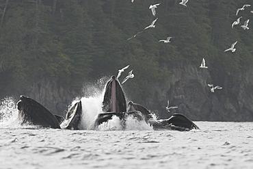 Humpback Whales (Megaptera novaeangliae) cooperatively bubble-net feeding in Southeast Alaska, USA.