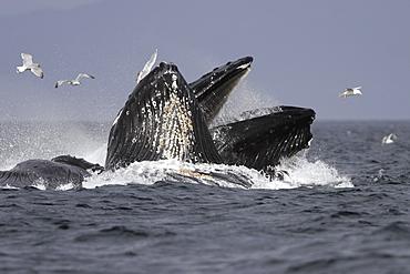 Adult Humpback Whales (Megaptera novaeangliae) cooperative bubble-net feeding for herring in Iyoukeen Bay, Chichagof Island, Southeast Alaska.