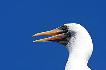 Adult Nazca booby (Sula grantii) head detail at nesting site on Punta Suarez on Espanola Island in the Galapagos Island Archipeligo, Ecuador. Pacific Ocean.