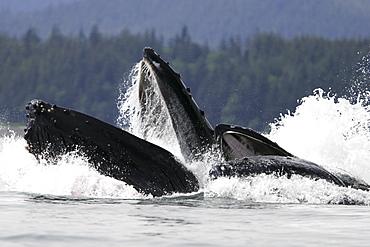 Humpback Whales (Megaptera novaeangliae) co-operatively bubble-net feeding in Stephen's Passage, Southeast Alaska, USA. Pacific Ocean.