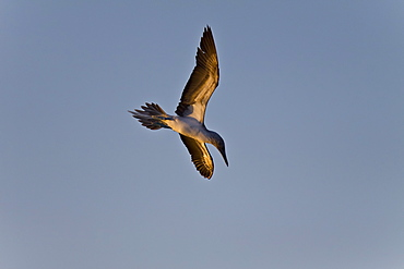 Adult Blue-footed Booby (Sula nebouxii) in flight in the Gulf of California (Sea of Cortez), Mexico.
