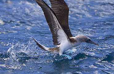 Blue-footed booby (Sula nebouxii) in the Galapagos Island Group, Ecuador. The Galapagos are a nesting and breeding area for blue-footed boobies.