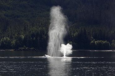 Humpback Whales (Megaptera novaeangliae) surfacing in Hobart Bay, Southeast Alaska, USA. Pacific Ocean.
