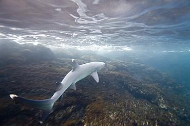 White-tipped reef shark (Triaenodon obesus) underwater in the Galapagos Island Archipeligo, Ecuador. Pacific Ocean.