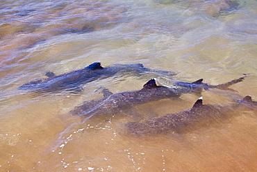 White-tipped reef sharks (Triaenodon obesus) feeding in shallow waters in the Galapagos Island Archipeligo, Ecuador. Pacific Ocean.