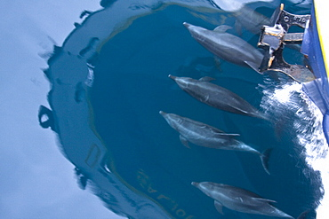 Offshore type bottlenose dolphins (Tursiops truncatus) bow-riding in the midriff region of the Gulf of California (Sea of Cortez), Baja California Norte, Mexico.