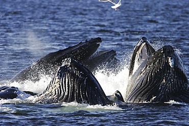 "Adult humpback whales (Megaptera novaeangliae) cooperatively ""bubble-net"" feeding in Southeast Alaska, USA"