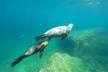 California sea lion (Zalophus californianus) pup nursing from its mother underwater at Los Islotes (the islets), Baja California Sur, Gulf of California (Sea of Cortez), Mexico.