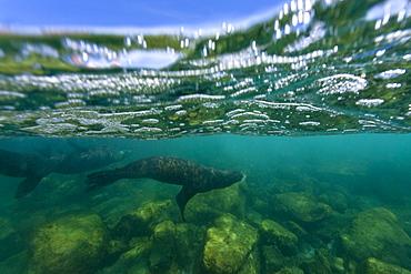 California sea lion (Zalophus californianus) underwater at Los Islotes (the islets) just outside of La Paz, Baja California Sur in the Gulf of California (Sea of Cortez), Mexico.